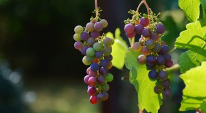 grapes-1659118_1280